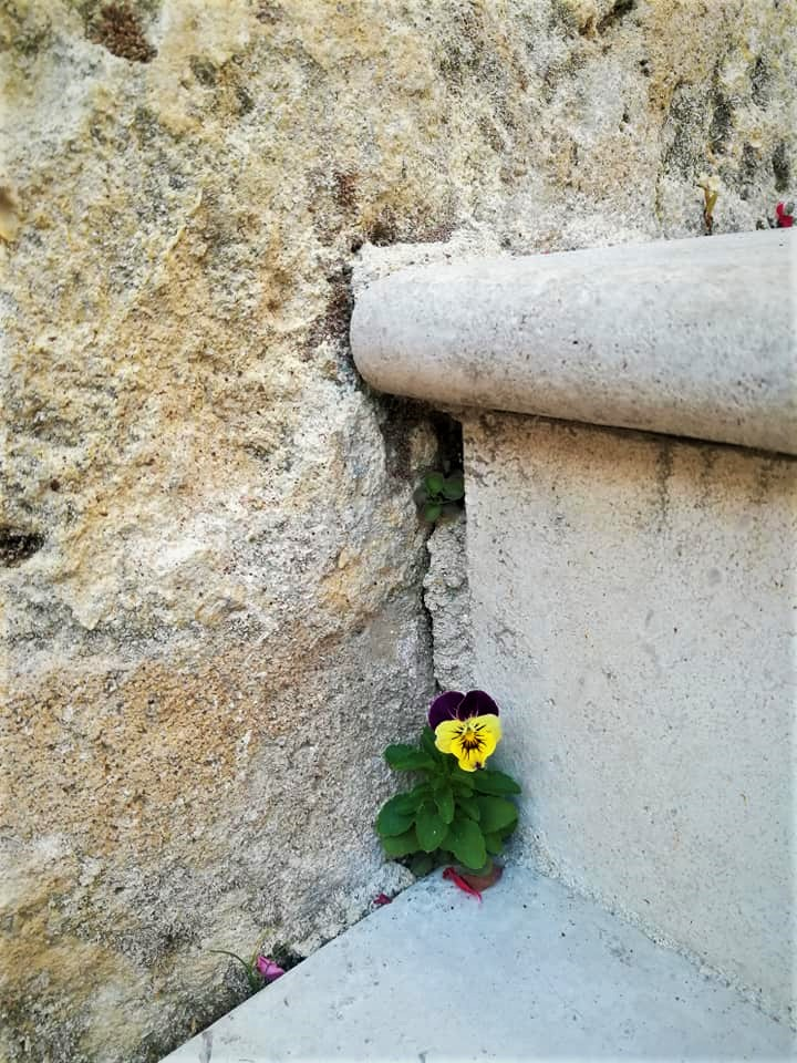 A violet sprouted in the cracks of the limestone stairs