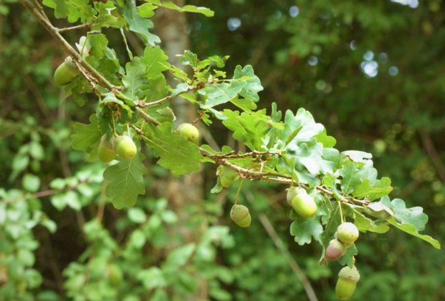 Branche de chêne